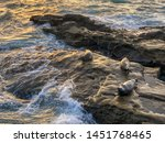 sea lions   seals napping on a... | Shutterstock . vector #1451768465