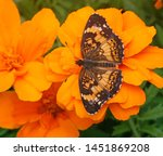 Silvery Checkerspot Butterfly...