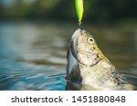 Steelhead Rainbow Trout. Fish...