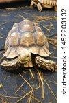 Stock photo african spurred tortoise sulcata tortoise 1452203132
