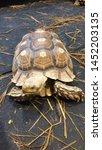 Stock photo african spurred tortoise sulcata tortoise 1452203135
