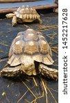 Stock photo african spurred tortoise sulcata tortoise 1452217628
