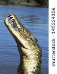 australian saltwater crocodile... | Shutterstock . vector #145224106