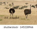 Two Ostriches  Struthio Camelu...
