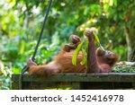 Orangutan Resting In The Park...