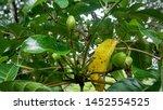 Fresh Pili Nuts On A Tree
