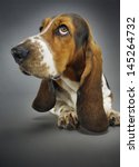 Closeup Of Basset Hound Sittin...