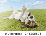 Jack Russell Terrier Lying On...