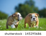 Stock photo cute happy english bulldog dog puppies playing outdoors on a fresh grass and flowers 145295686