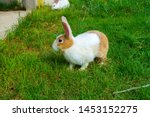 Stock photo  rabbits sitting on the grass white rabbit red rabbit graze on the lawn 1453152275