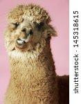 closeup of an alpaca against...   Shutterstock . vector #145318615