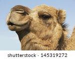 Closeup Of A Camel's Head...