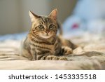 Stock photo beautiful short hair cat lying on the bed at home 1453335518