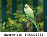 Stock photo green parakeet bird resting on a bird feeder these birds are not native to europe but having 1453338368