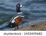 Adult Male Harlequin Duck ...