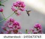 Hummingbird Moth Closeup On...