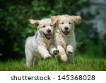 Stock photo two happy running puppies of golden retriever 145368028