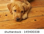 Stock photo cute labrador puppy lying on wood floor 145400338