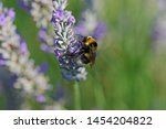 white tailed bumble bee or bumblebee Latin bombus lucorum similar to bombus terrestris family apidae feeding on a lavender bush in summer in Italy