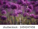 Allium Giganteum  Head Of...