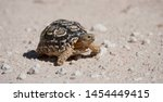 Stock photo leopard tortoise stigmochelyspardalis kgalagadi transfortier park south africa 1454449415
