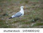 Stock photo herring gull in breeding area rottumeroog 1454800142