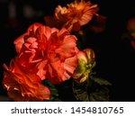 Orange Red Begonia Flower Close ...