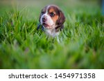 Stock photo a cute beagle puppy month lying on the green grass field 1454971358