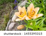 Two Orange Flowers Lily With...