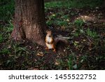 little redhead curious squirrel ... | Shutterstock . vector #1455522752