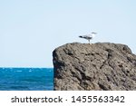 seagull standing on a stone... | Shutterstock . vector #1455563342