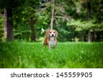 Stock photo beagle dog on the nature 145559905