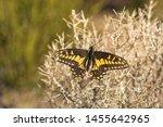 Desert Black Swallowtail On A...