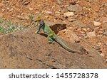 Western Collared Lizard  Sedona ...
