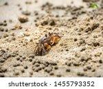 Ghost Crab   Ocypode Stimpsoni  ...