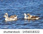 Four Wild Geese Swim On The...
