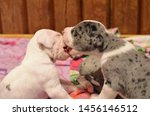 Small Young Great Dane Puppies...