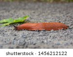 Giant Red Roadside Slug ...