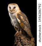 Barn Owl  Liberty\'s Raptor And...