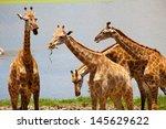 group of giraffes playing along ... | Shutterstock . vector #145629622