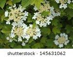 Guelder Rose   Viburnum Opulus