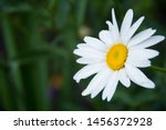 White Daisy With Raindrops In...