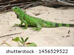 A Green Iguana Lizard Sitting...