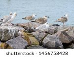 Stock photo juvenile european herring gull in the baltic sea 1456758428