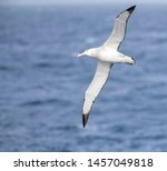 Small photo of Antipodean albatross (Diomedea antipodensis) flying over the New Zealand subantarctic Pacific Ocean. Seen from the side, showing under wings.
