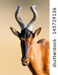 Small photo of Red hartebeest portrait - Alcelaphus caama - Kalahari - South Africa