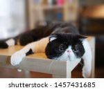 Stock photo beautiful shorthair cat lying on table looking exhausted very tired outworn beat emotions sad 1457431685