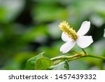 Small photo of chameleon plant or Houttuynia cordata,fish leaf, fish mint, rainbow plant, heart leaf, fish wort, Chinese lizard tail, bishop's weed