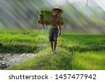 Small photo of Vietnam farmer Bearing seedlings of rice to plant, Asian farmer Bearing rice seedlings on the back before the grown in paddy field,Vietnam