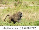 Male Baboon Wonder Around The...